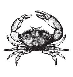 Stone crab vintage vector
