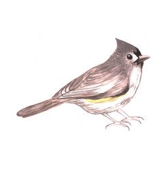 Tufted titmouse or baeolophus bicolor isolated on vector