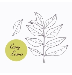 Hand drawn curry leaves branch isolated on white vector image
