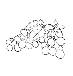bunch grapes vector image