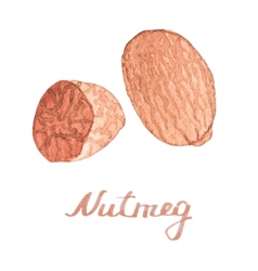 Watercolor nutmeg on the white background vector image
