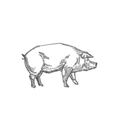 Pig hand drawn abstract vector