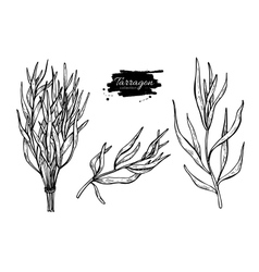 Tarragon hand drawn set vector