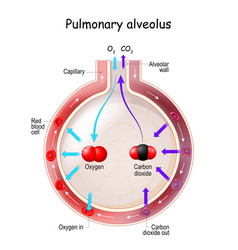 Alveolus gas exchange vector