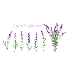 Lavender flower on vector
