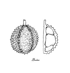 Nd drawn of ripe durian on white background vector