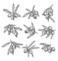 Olives bunch sketch icons vector