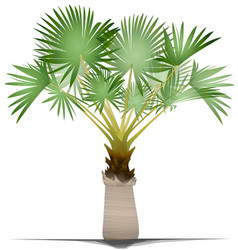 bismarck palm tree vector image