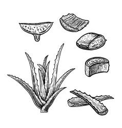 Hand drawn set of aloe vera vintage sketch vector