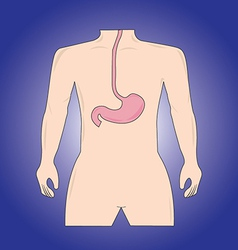 Human stomach vector image