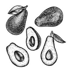 hand drawn set of avocado sketch vector image