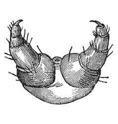 scaly legs of the caterpillar of the gipsy moth vector image