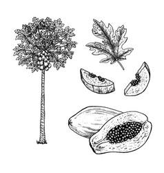Hand drawn set papaya black-white vector
