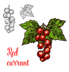 Red currant sketch fruit berry icon vector
