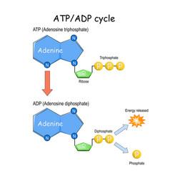 Atp adp cycle vector