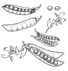 Set of hand drawn peas isolated on white vector