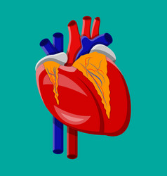human heart internal organ vector image