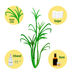 Sugar cane and products of caneglass and bottle of vector