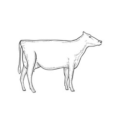 engrave cow vector image