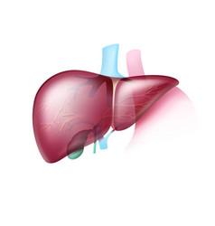 realistic healthy liver vector image