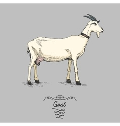 Goat engraved hand drawn in vector