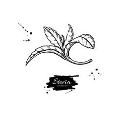 stevia drawing herbal sketch of sweetener vector image