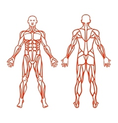 Anatomy of male muscular system exercise and vector