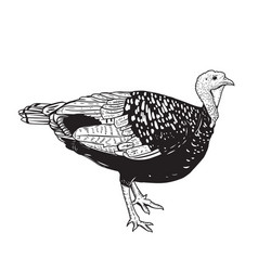 turkey isolated on white background vector image