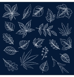 Chalk drawings of tree leaves and seeds vector image
