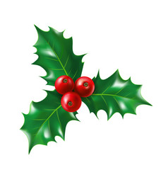 Isolated holly berry with leaves ilex berries vector