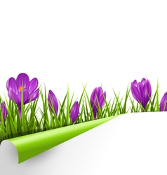 Green grass lawn with violet crocuses and wrapped vector