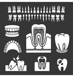 Human tooth anatomy vector image vector image