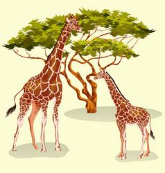 Cartoon giraffes eating foliage of acacia trees vector