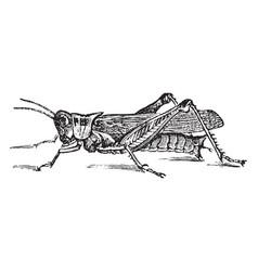 Red legged grasshopper vintage vector