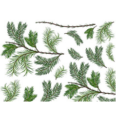 set green spruce twigs vector image