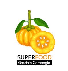 garcinia cambogia icon vector image