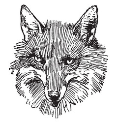 Reynard the fox vintage vector