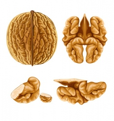 Walnut nut with shell vector