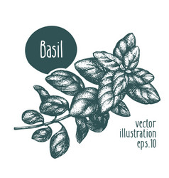 Basil branch for design menu vector