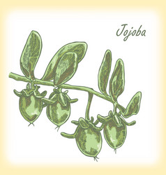jojoba fruit hand drawn vector image