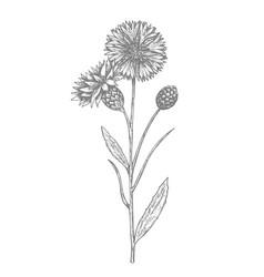 Cornflowers summer flower hand drawn vector