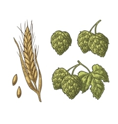 Set hop herb plants with leaf and Ear of barley vector