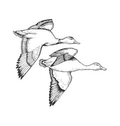 flying ducks engraving vector image