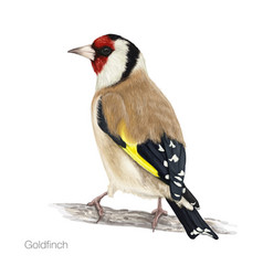 Goldfinch hand drawn vector
