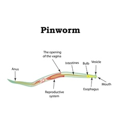 The structure of pinworms Pinworm vector image