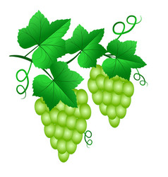 Two bunch of green grapes with leaves isolated on vector