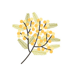 Branch silver wattle or mimosa with gorgeous vector