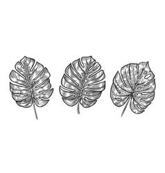 monstera tropical leaves sketch vector image