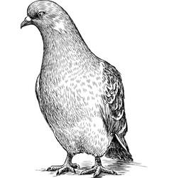 Sketch a pigeon vector