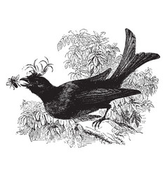 Crested drongo vintage vector